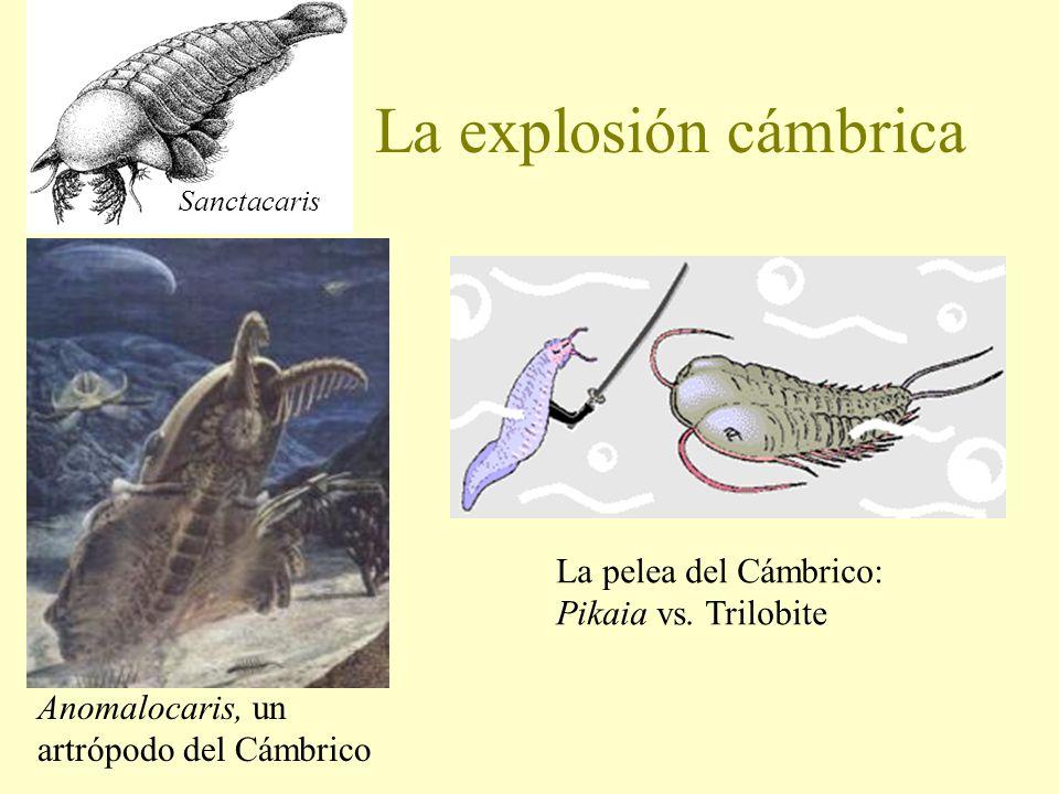 La explosión cámbrica Anomalocaris, un artrópodo del Cámbrico La pelea del Cámbrico: Pikaia vs. Trilobite Sanctacaris