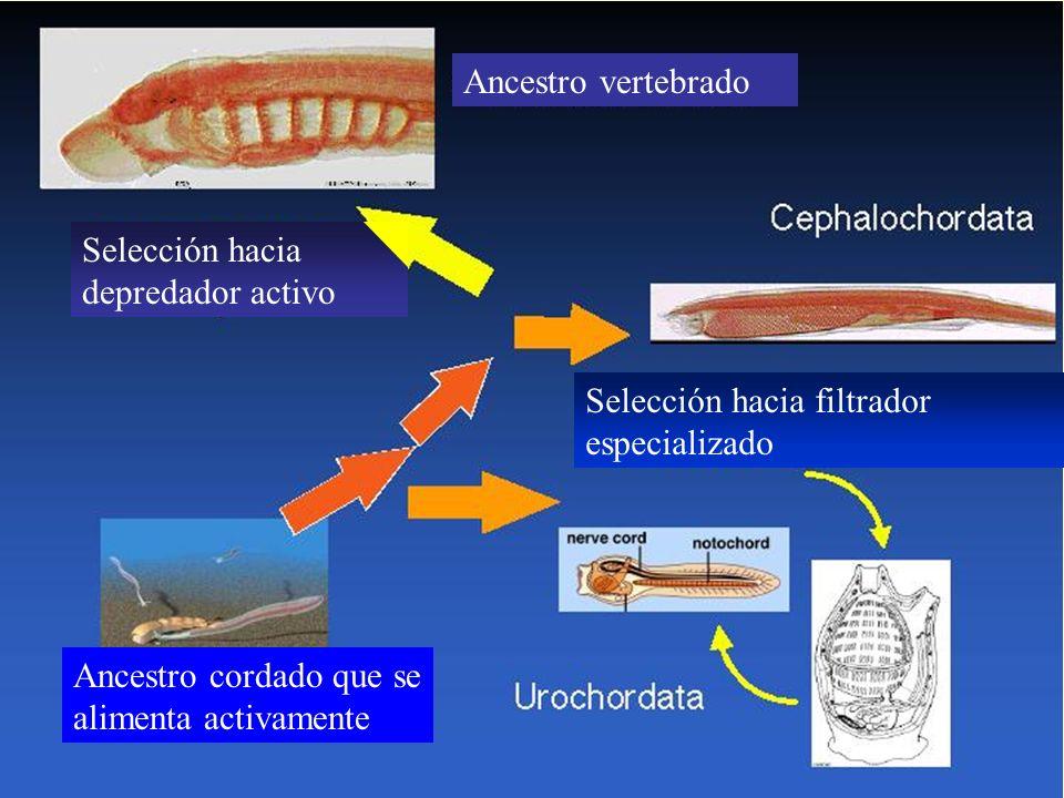 Ancestro vertebrado Selección hacia filtrador especializado Selección hacia depredador activo Ancestro cordado que se alimenta activamente