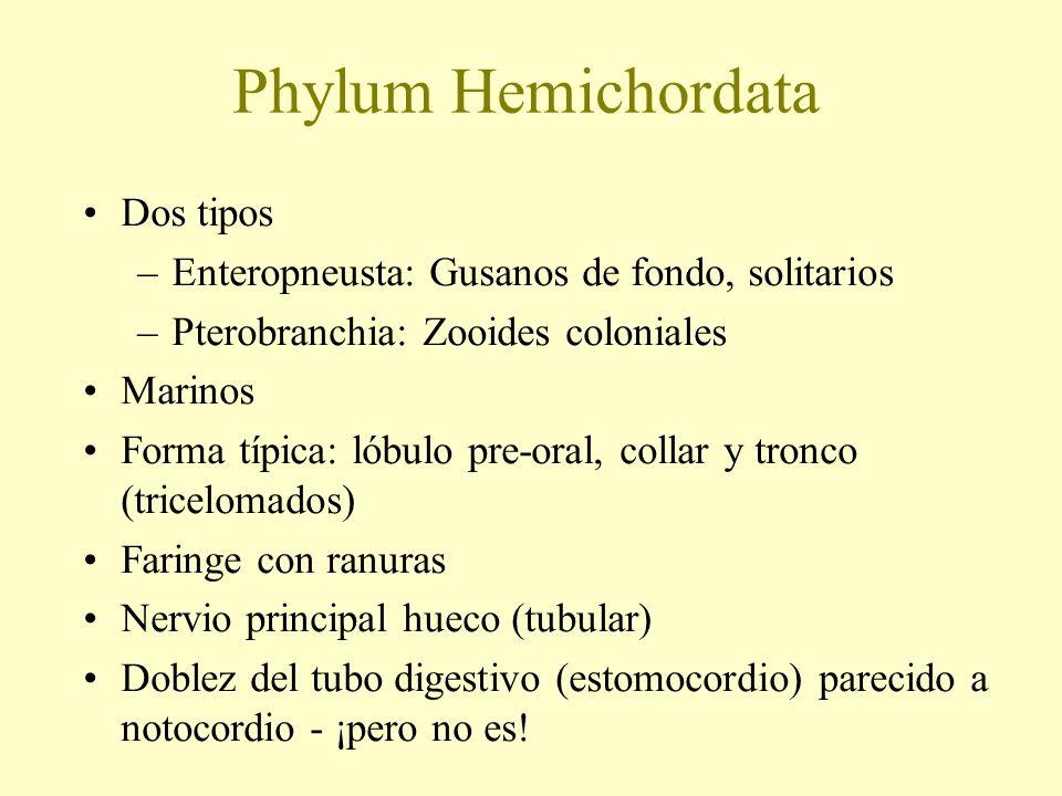 Phylum Hemichordata Dos tipos –Enteropneusta: Gusanos de fondo, solitarios –Pterobranchia: Zooides coloniales Marinos Forma típica: lóbulo pre-oral, c