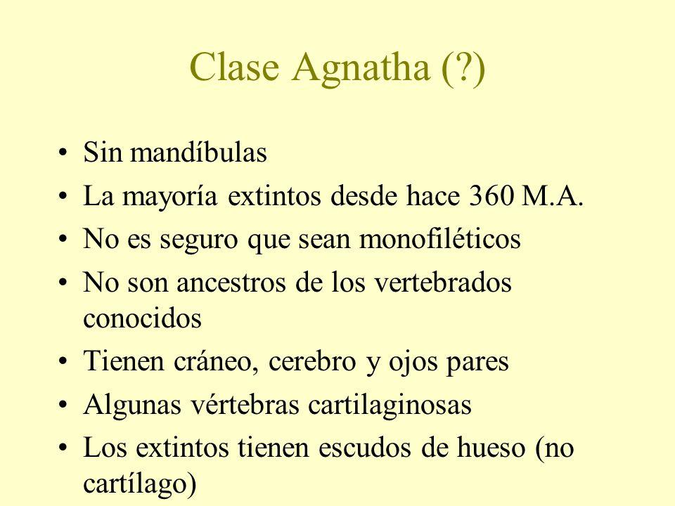 Clase Agnatha (?) Sin mandíbulas La mayoría extintos desde hace 360 M.A. No es seguro que sean monofiléticos No son ancestros de los vertebrados conoc