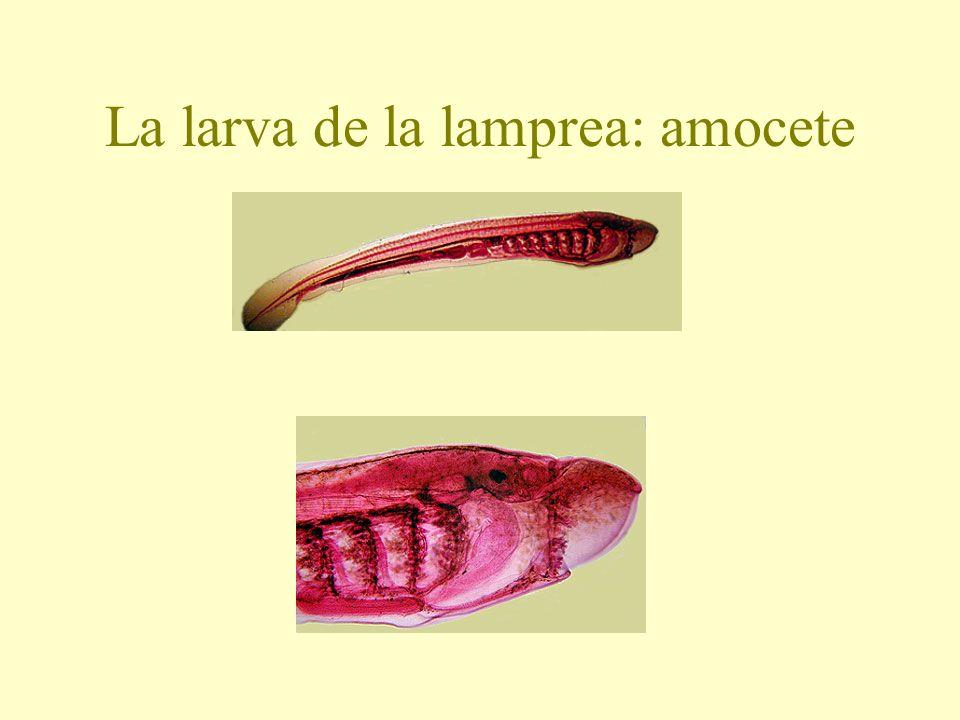La larva de la lamprea: amocete