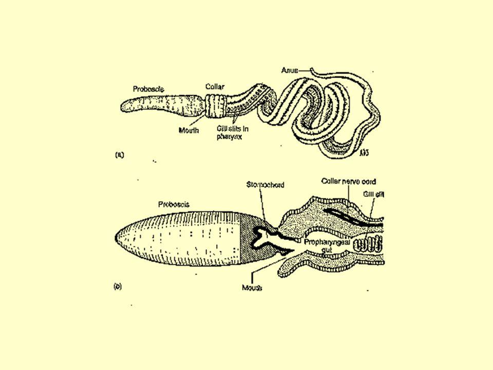 Hemicordados: Enteropneusta Bénticos, de zonas llanas, 9 – 45 cm de largo en general Proboscis, cuello y tronco