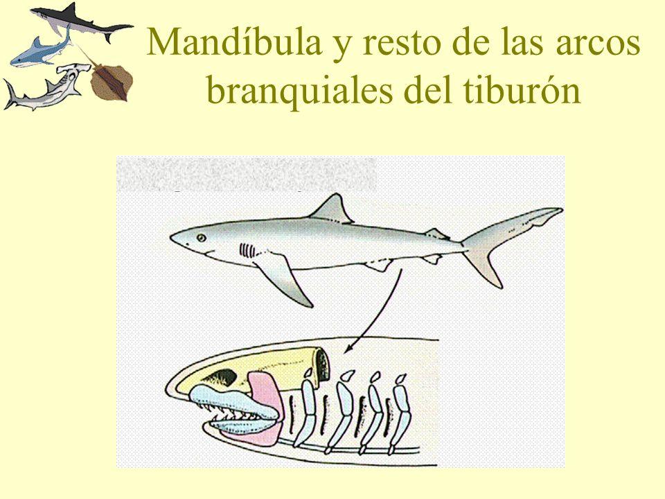 Mandíbula y resto de las arcos branquiales del tiburón