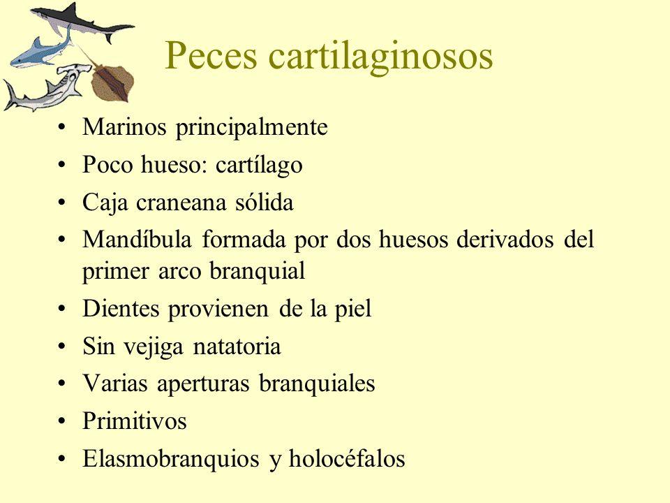 Peces cartilaginosos Marinos principalmente Poco hueso: cartílago Caja craneana sólida Mandíbula formada por dos huesos derivados del primer arco bran
