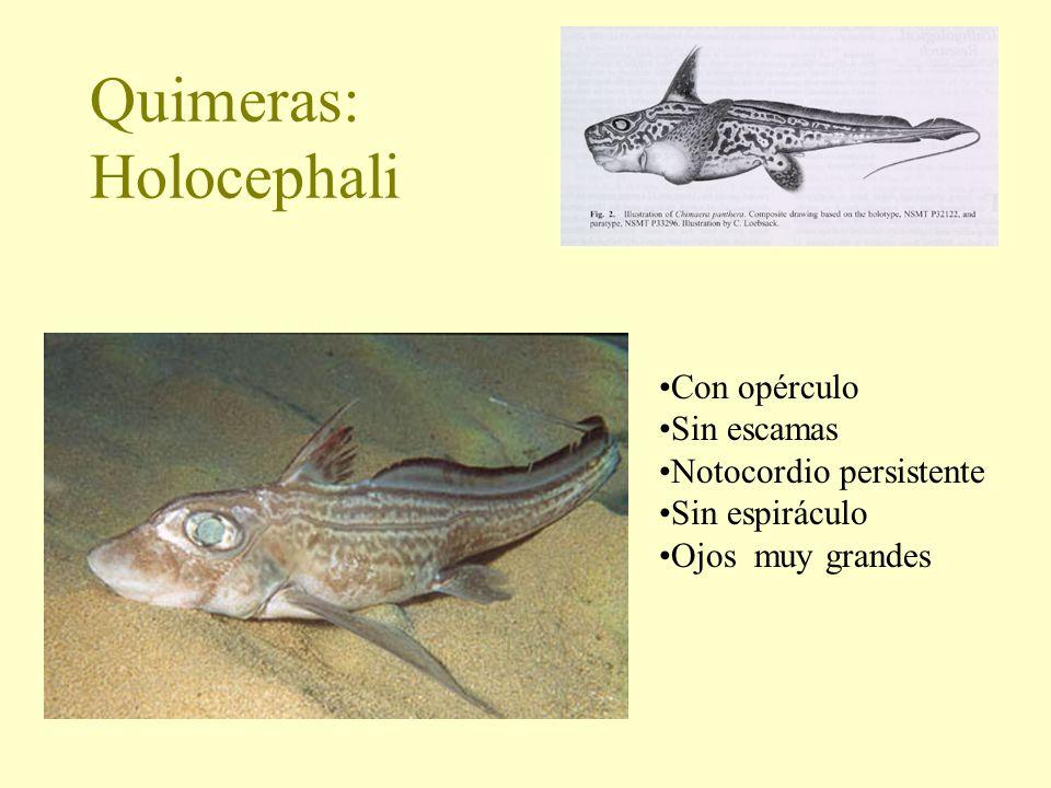 Quimeras: Holocephali Con opérculo Sin escamas Notocordio persistente Sin espiráculo Ojos muy grandes