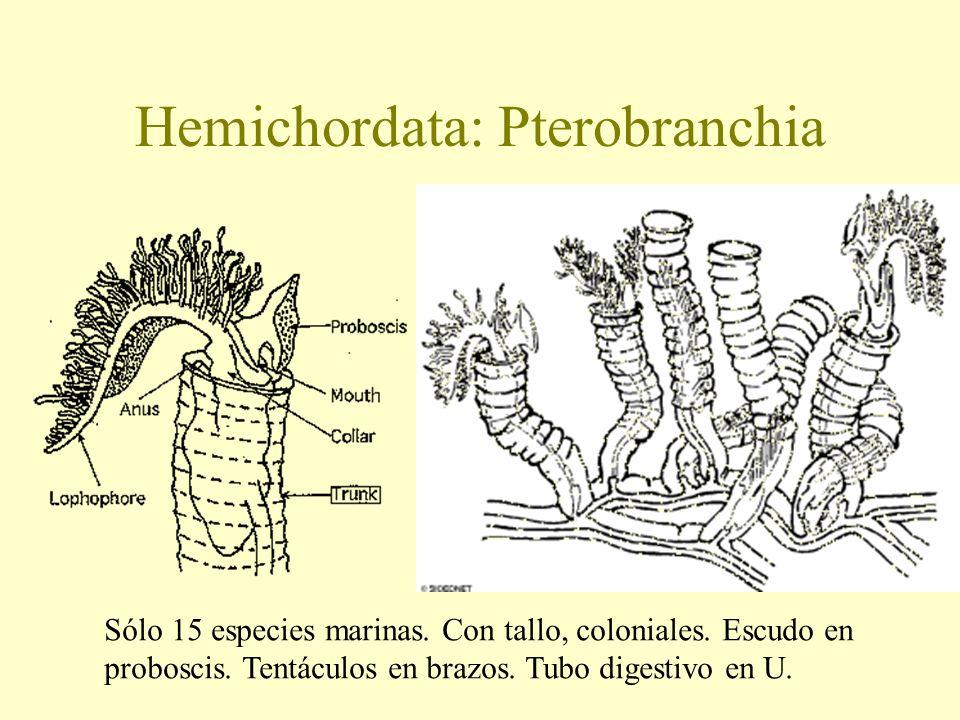 Hemichordata: Pterobranchia Sólo 15 especies marinas. Con tallo, coloniales. Escudo en proboscis. Tentáculos en brazos. Tubo digestivo en U.