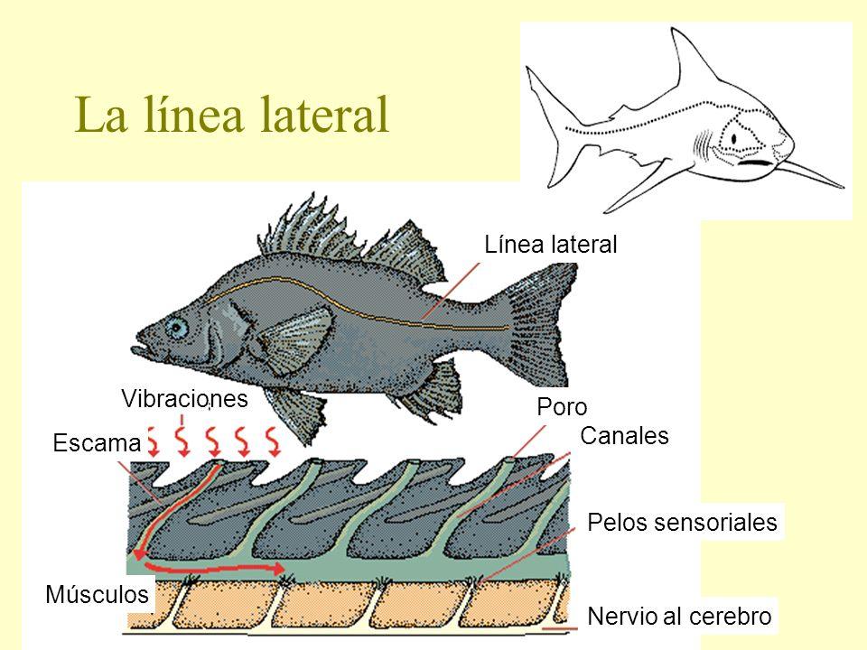 La línea lateral Línea lateral Poro Canales Pelos sensoriales Nervio al cerebro Escama Músculos Vibraciones