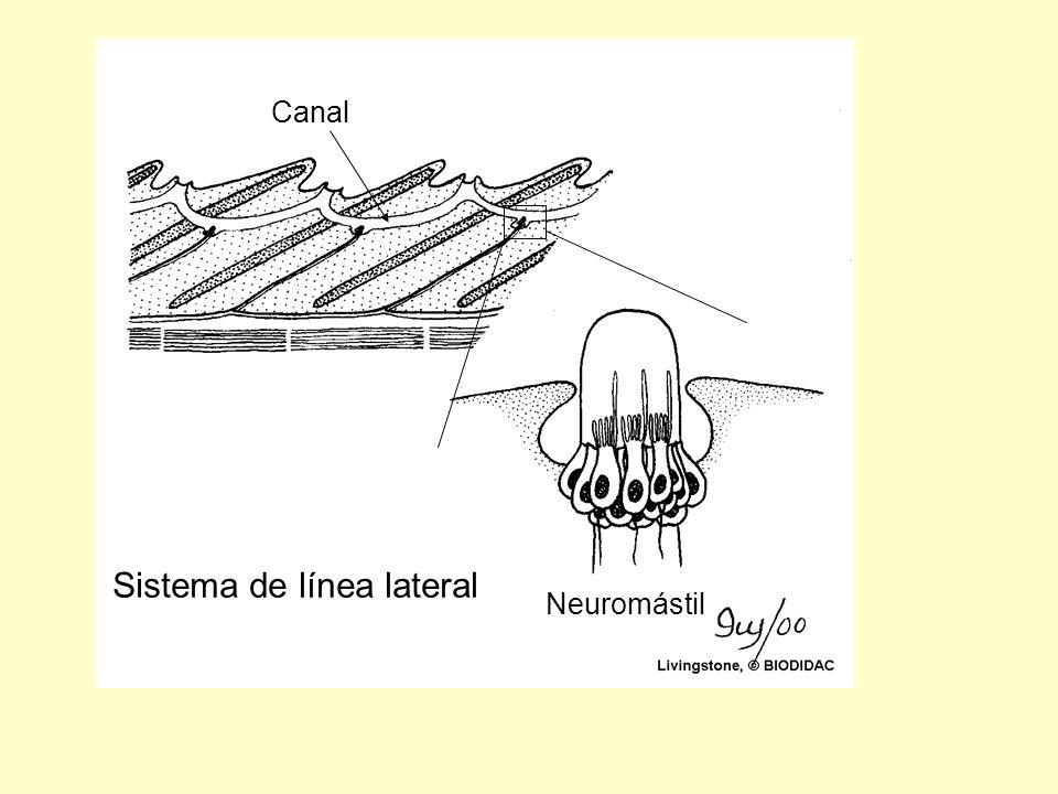Neuromástil Canal Sistema de línea lateral