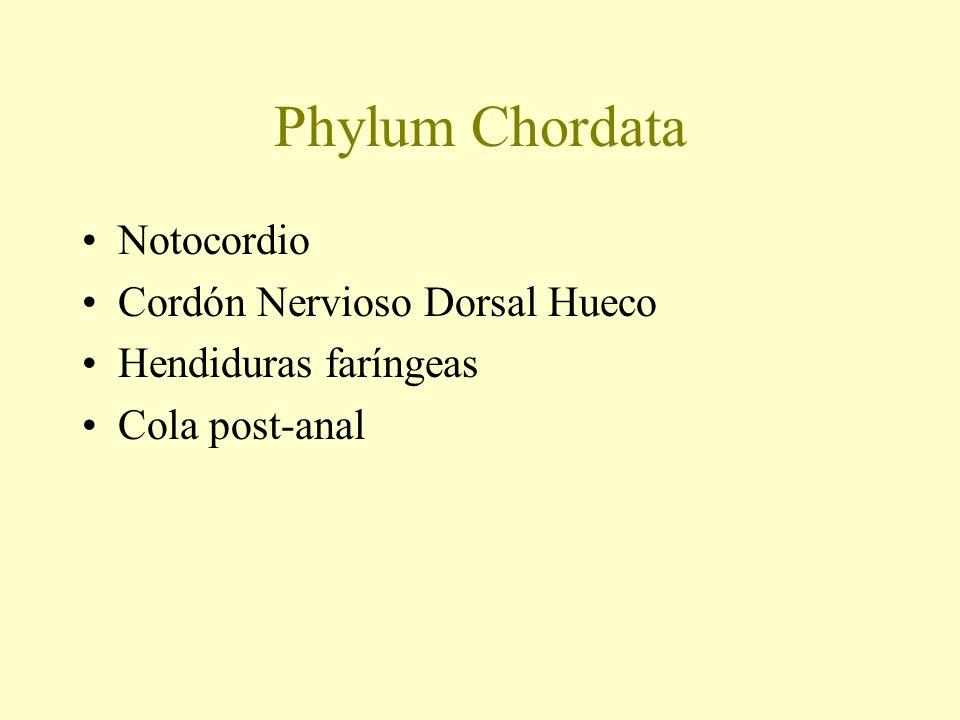 Phylum Chordata Notocordio Cordón Nervioso Dorsal Hueco Hendiduras faríngeas Cola post-anal