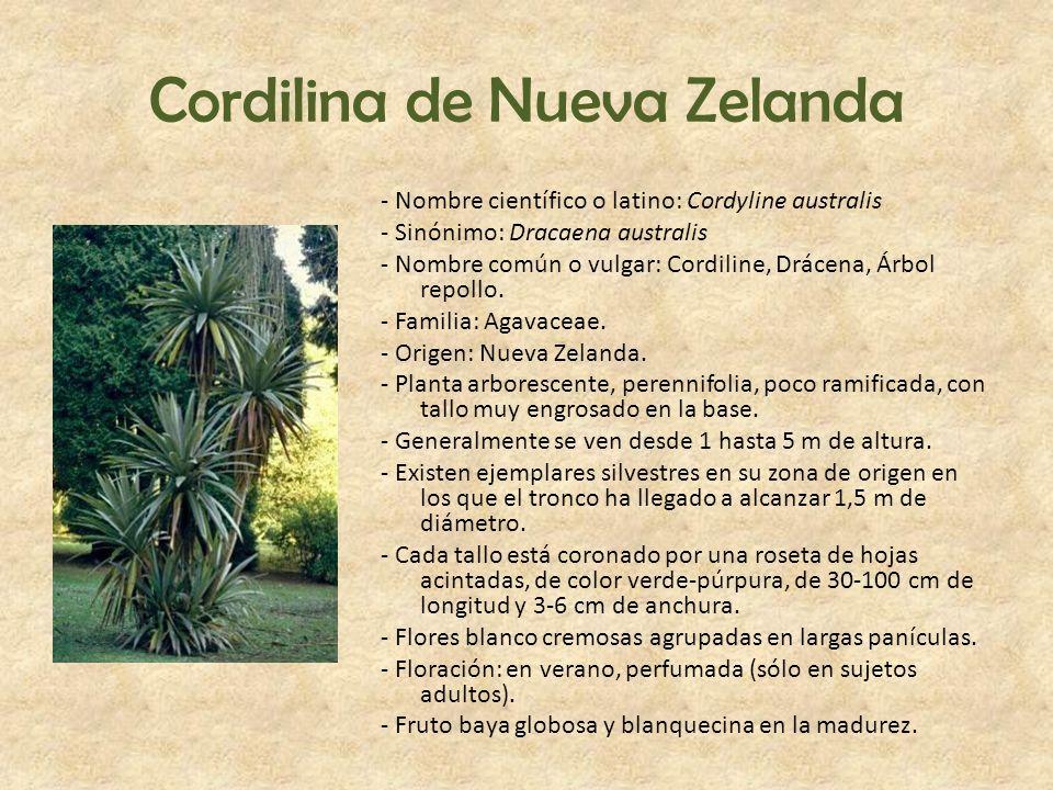 Cordilina de Nueva Zelanda - Nombre científico o latino: Cordyline australis - Sinónimo: Dracaena australis - Nombre común o vulgar: Cordiline, Drácen
