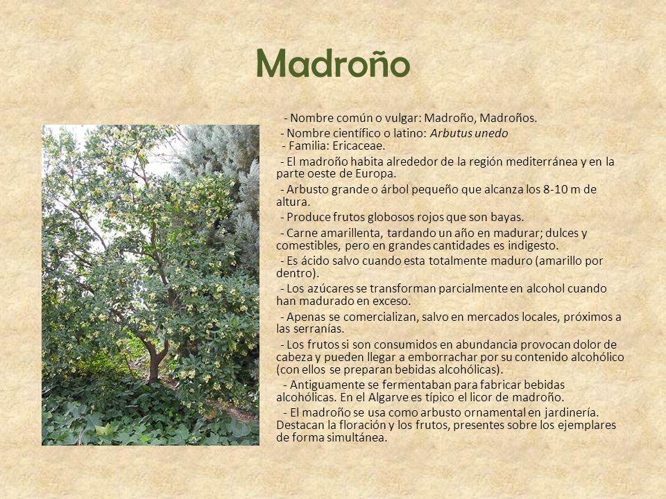 Madroño - Nombre común o vulgar: Madroño, Madroños. - Nombre científico o latino: Arbutus unedo - Familia: Ericaceae. - El madroño habita alrededor de