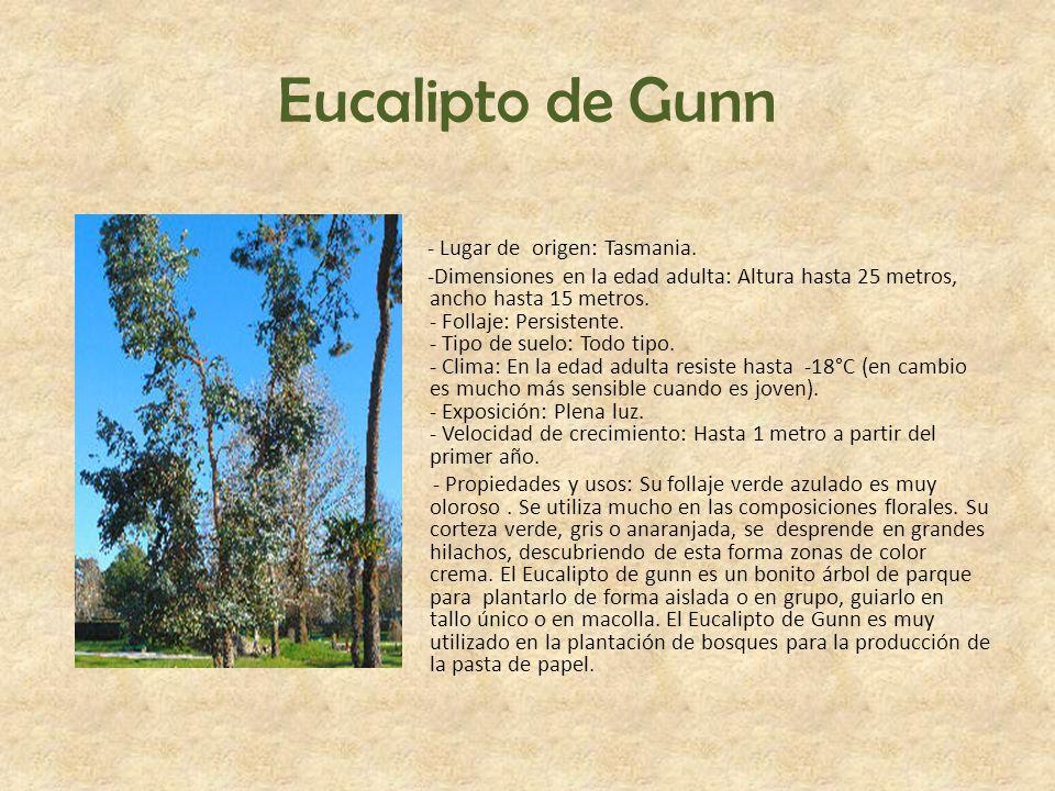 Eucalipto de Gunn - Lugar de origen: Tasmania. -Dimensiones en la edad adulta: Altura hasta 25 metros, ancho hasta 15 metros. - Follaje: Persistente.