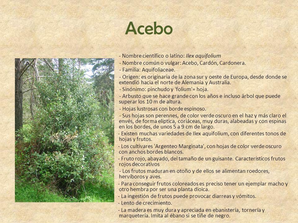 Acebo - Nombre científico o latino: Ilex aquifolium - Nombre común o vulgar: Acebo, Cardón, Cardonera. - Familia: Aquifoliaceae. - Origen: es originar