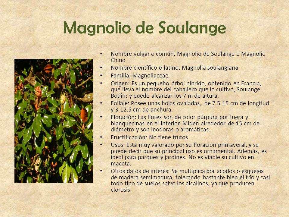 Magnolio de Soulange Nombre vulgar o común: Magnolio de Soulange o Magnolio Chino Nombre científico o latino: Magnolia soulangiana Familia: Magnoliace