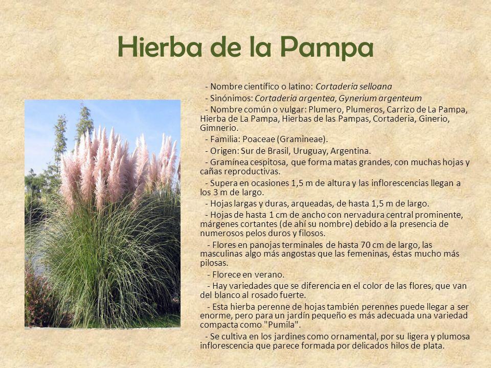 Hierba de la Pampa - Nombre científico o latino: Cortaderia selloana - Sinónimos: Cortaderia argentea, Gynerium argenteum - Nombre común o vulgar: Plu