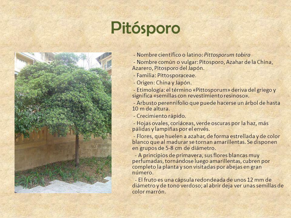 Pitósporo - Nombre científico o latino: Pittosporum tobira - Nombre común o vulgar: Pitosporo, Azahar de la China, Azarero, Pitosporo del Japón. - Fam