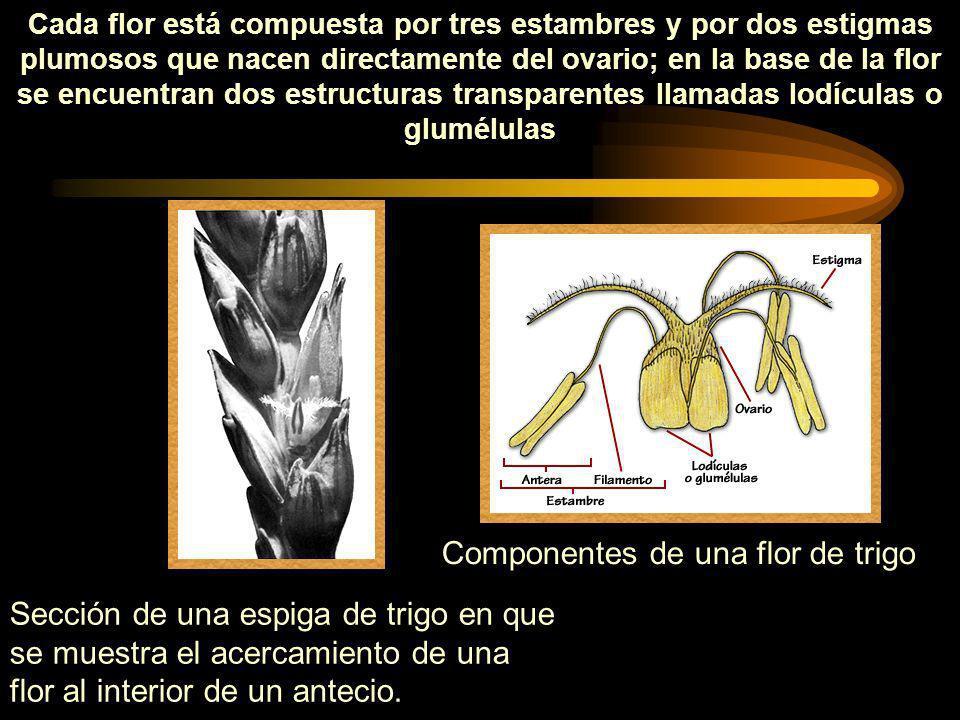 Cada flor está compuesta por tres estambres y por dos estigmas plumosos que nacen directamente del ovario; en la base de la flor se encuentran dos est