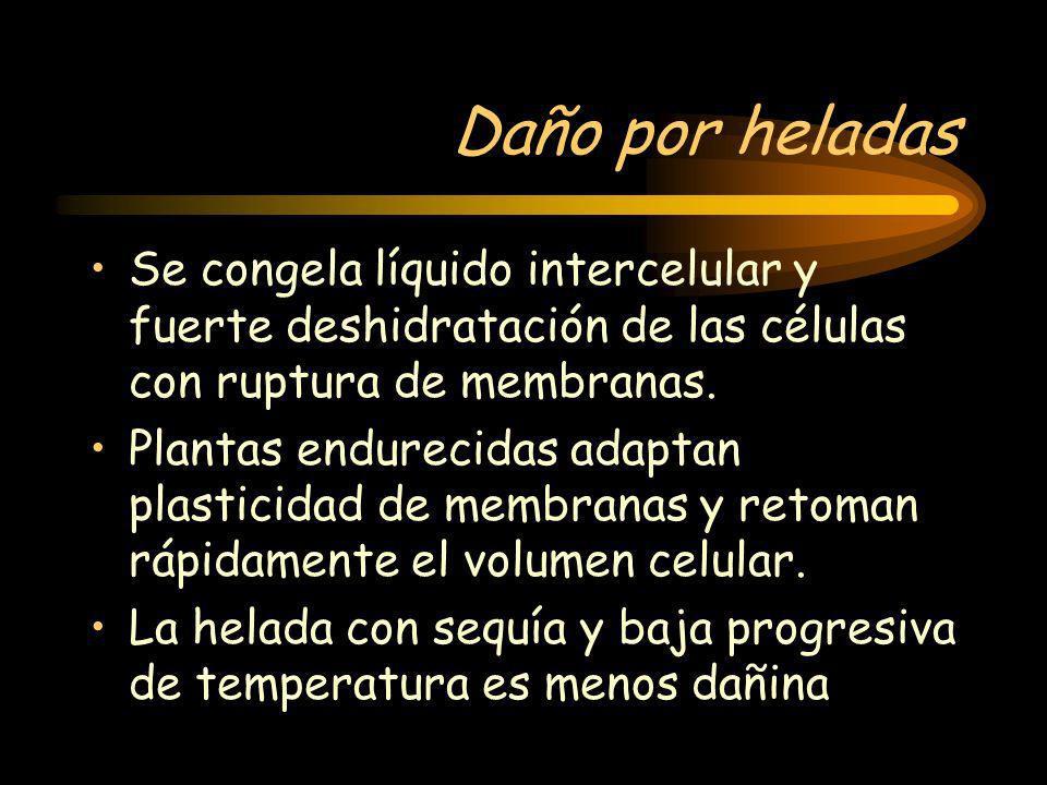 Daño por heladas Se congela líquido intercelular y fuerte deshidratación de las células con ruptura de membranas. Plantas endurecidas adaptan plastici