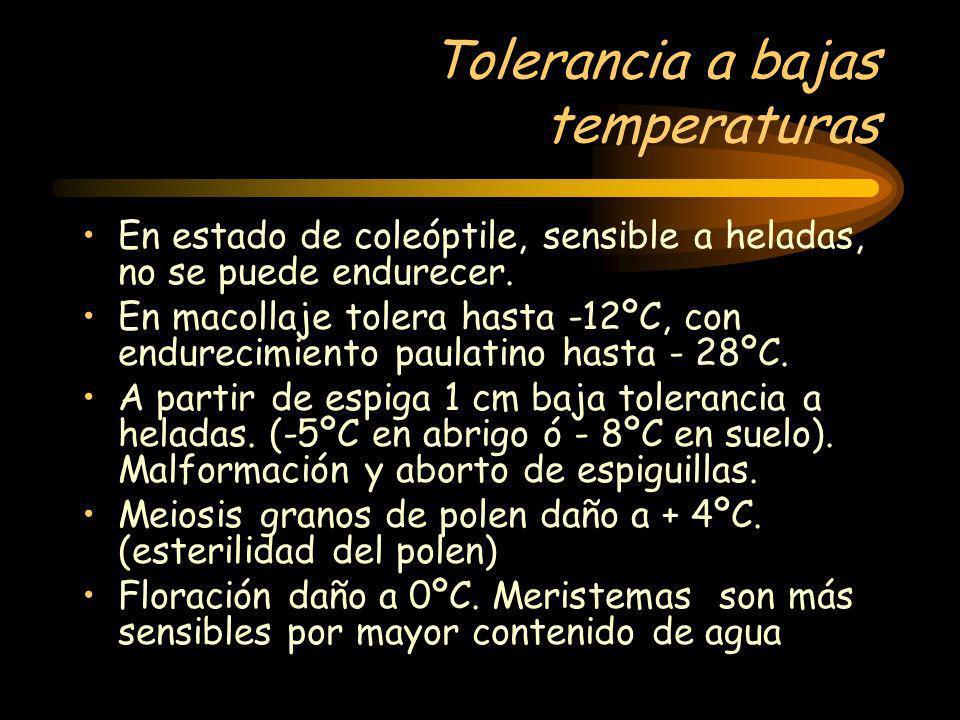 Tolerancia a bajas temperaturas En estado de coleóptile, sensible a heladas, no se puede endurecer. En macollaje tolera hasta -12ºC, con endurecimient