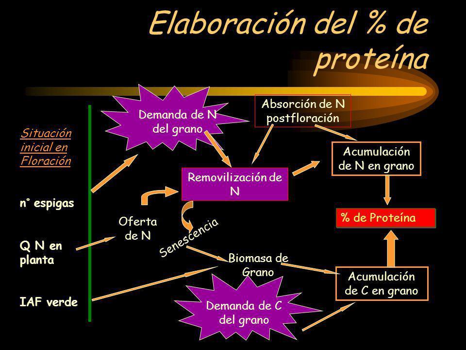 Elaboración del % de proteína Situación inicial en Floración n° espigas Q N en planta IAF verde Demanda de N del grano Absorción de N postfloración Re