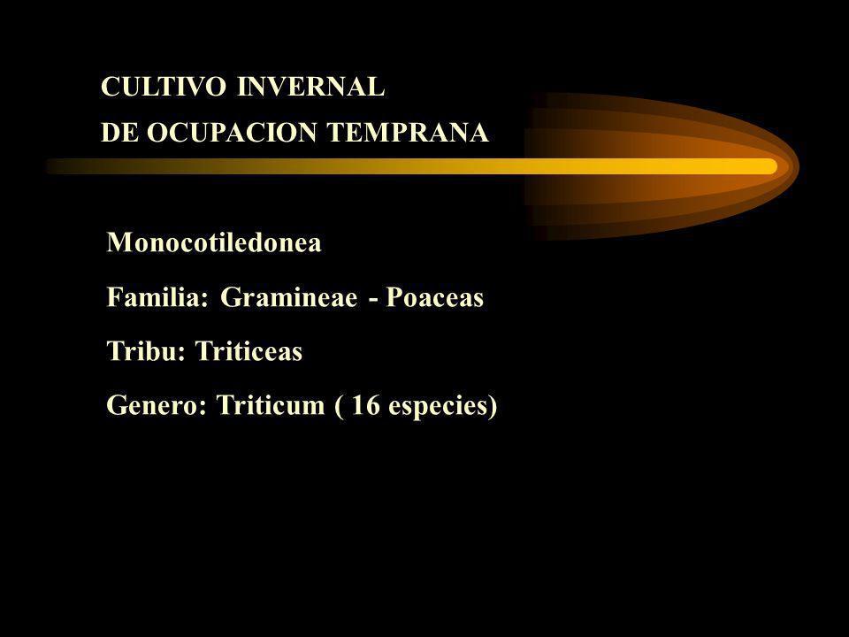 CULTIVO INVERNAL DE OCUPACION TEMPRANA Monocotiledonea Familia: Gramineae - Poaceas Tribu: Triticeas Genero: Triticum ( 16 especies)