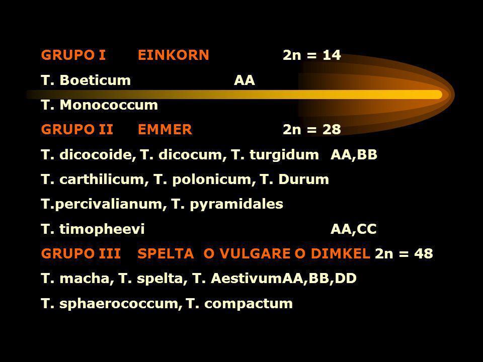 GRUPO IEINKORN2n = 14 T. BoeticumAA T. Monococcum GRUPO IIEMMER2n = 28 T. dicocoide, T. dicocum, T. turgidum AA,BB T. carthilicum, T. polonicum, T. Du
