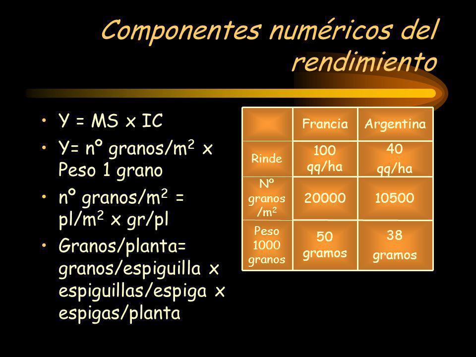 Componentes numéricos del rendimiento Y = MS x IC Y= nº granos/m 2 x Peso 1 grano nº granos/m 2 = pl/m 2 x gr/pl Granos/planta= granos/espiguilla x es