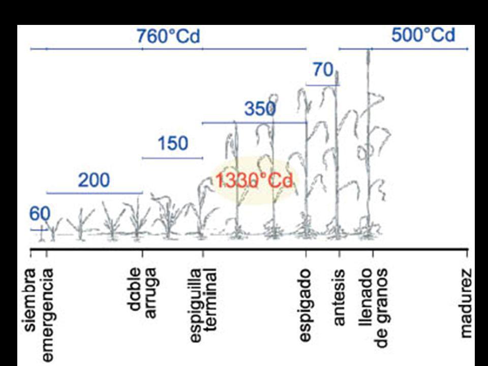 Mínimo tiempo térmico requerido en las fases de desarrollo