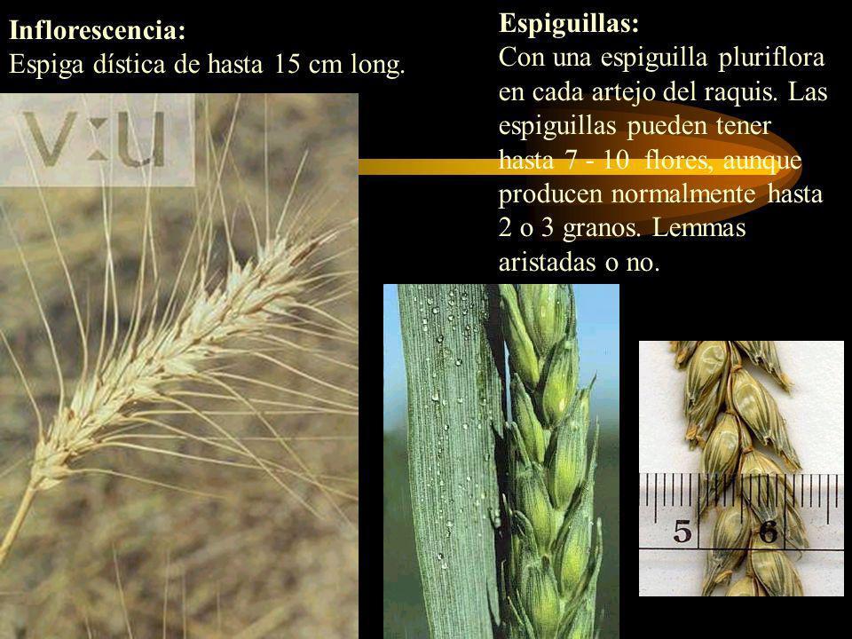Espiguillas: Con una espiguilla pluriflora en cada artejo del raquis. Las espiguillas pueden tener hasta 7 - 10 flores, aunque producen normalmente ha