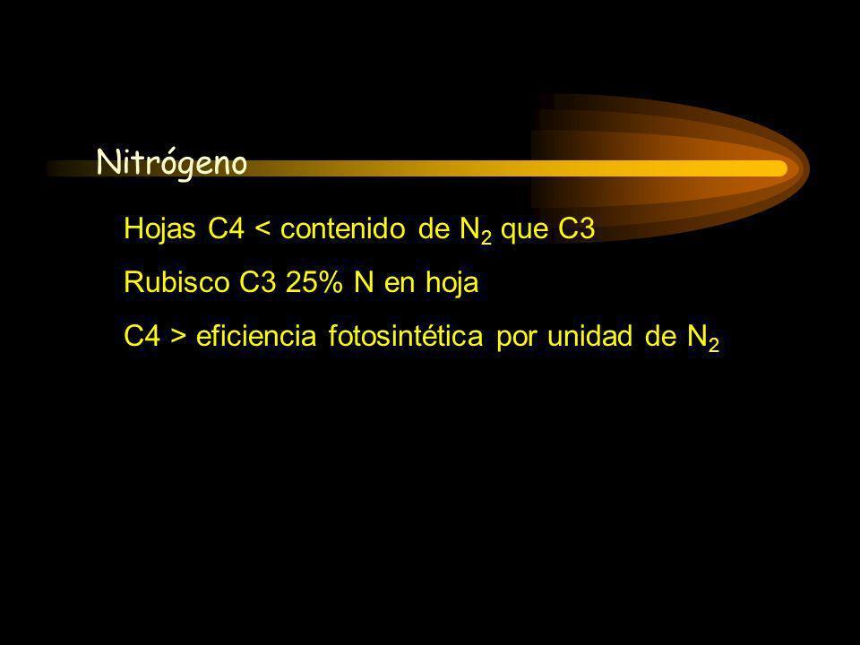 Hojas C4 < contenido de N 2 que C3 Rubisco C3 25% N en hoja C4 > eficiencia fotosintética por unidad de N 2 Nitrógeno Fotosíntesis