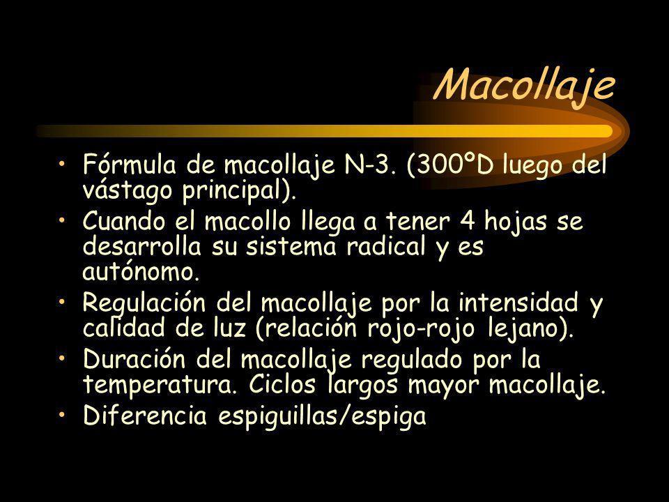Macollaje Fórmula de macollaje N-3. (300ºD luego del vástago principal). Cuando el macollo llega a tener 4 hojas se desarrolla su sistema radical y es