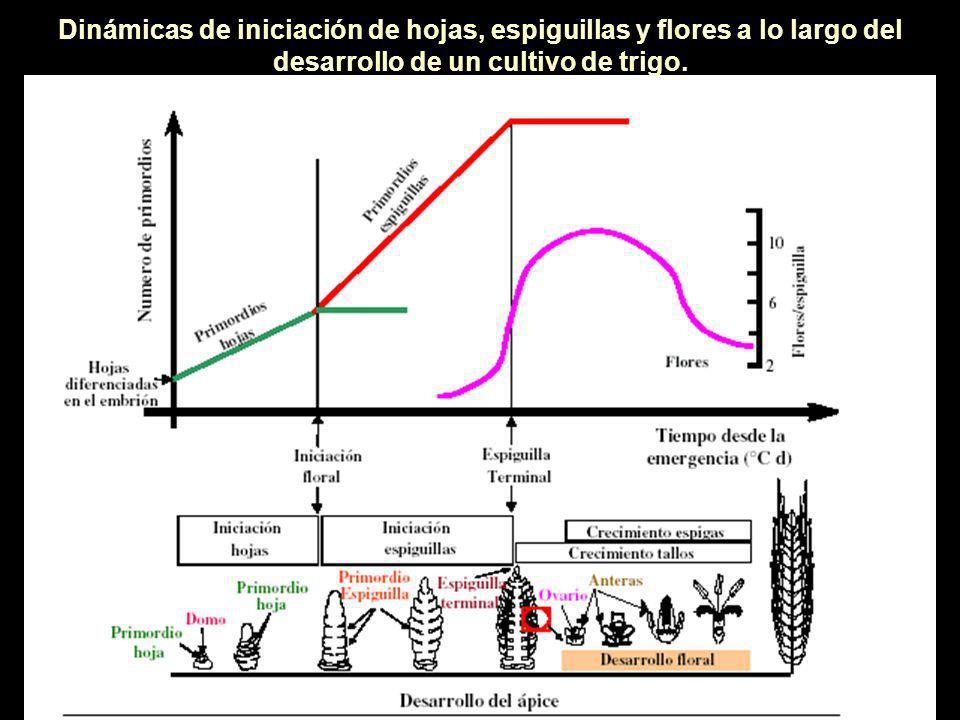 Dinámicas de iniciación de hojas, espiguillas y flores a lo largo del desarrollo de un cultivo de trigo.