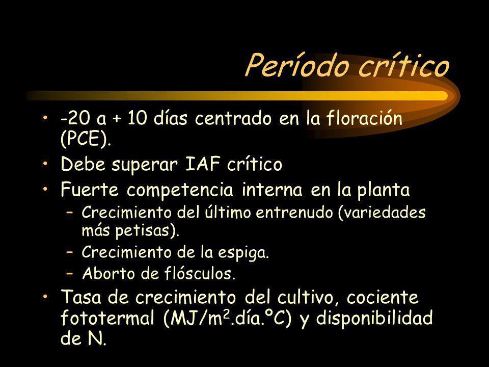 Período crítico -20 a + 10 días centrado en la floración (PCE). Debe superar IAF crítico Fuerte competencia interna en la planta –Crecimiento del últi