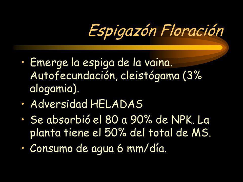 Espigazón Floración Emerge la espiga de la vaina. Autofecundación, cleistógama (3% alogamia). Adversidad HELADAS Se absorbió el 80 a 90% de NPK. La pl