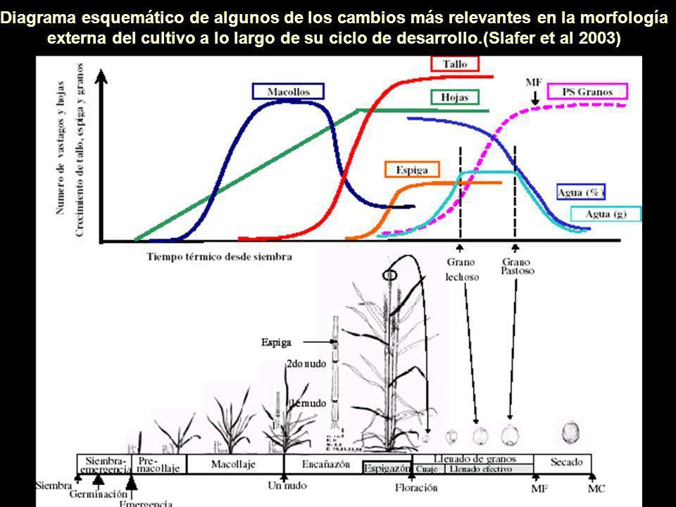 Diagrama esquemático de algunos de los cambios más relevantes en la morfología externa del cultivo a lo largo de su ciclo de desarrollo.(Slafer et al