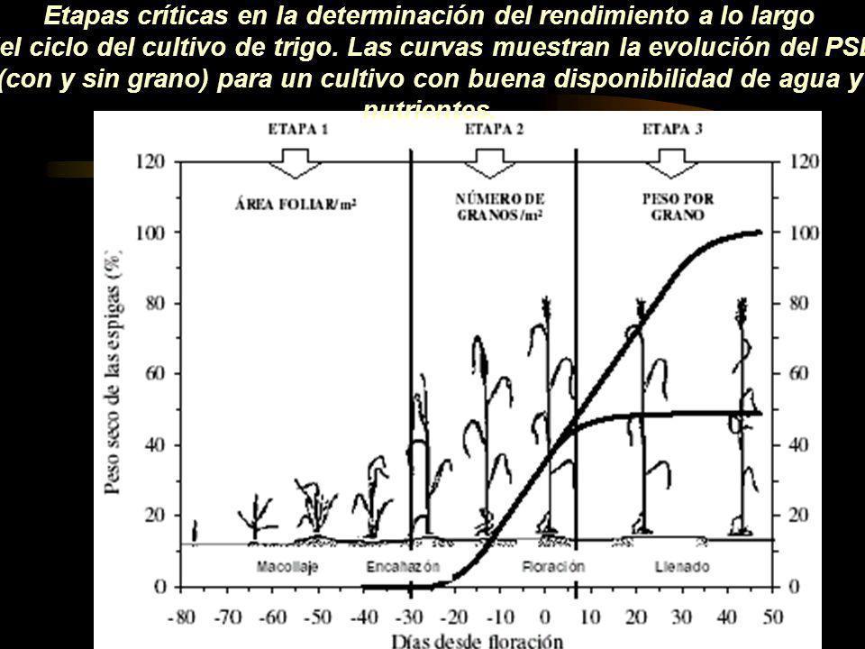 Etapas críticas en la determinación del rendimiento a lo largo del ciclo del cultivo de trigo. Las curvas muestran la evolución del PSE (con y sin gra