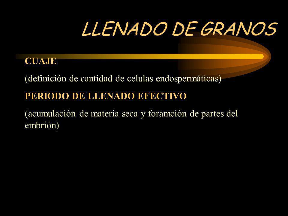 LLENADO DE GRANOS CUAJE (definición de cantidad de celulas endospermáticas) PERIODO DE LLENADO EFECTIVO (acumulación de materia seca y foramción de pa