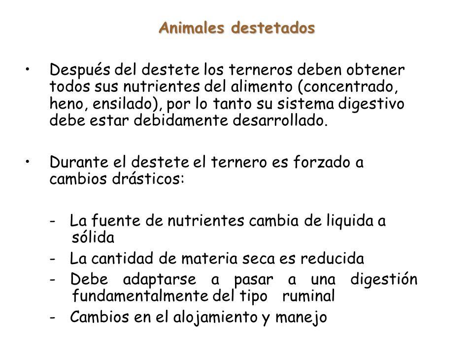 Animales destetados Después del destete los terneros deben obtener todos sus nutrientes del alimento (concentrado, heno, ensilado), por lo tanto su sistema digestivo debe estar debidamente desarrollado.