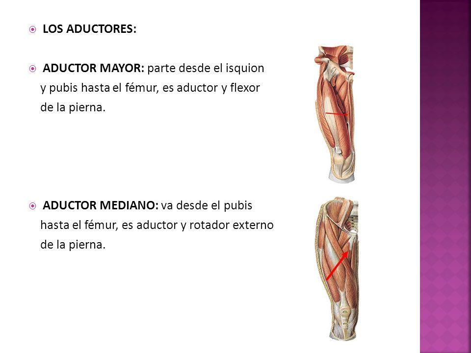 LOS ADUCTORES: ADUCTOR MAYOR: parte desde el isquion y pubis hasta el fémur, es aductor y flexor de la pierna.