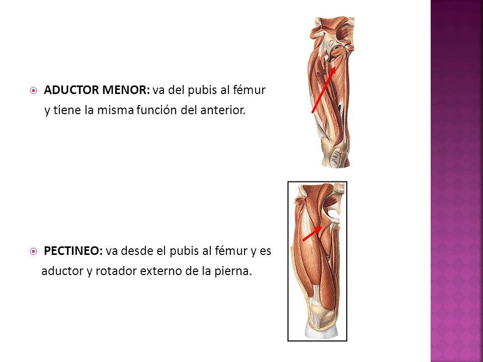 ADUCTOR MENOR: va del pubis al fémur y tiene la misma función del anterior.