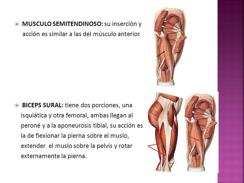 MUSCULO SEMITENDINOSO: su inserción y acción es similar a las del músculo anterior.