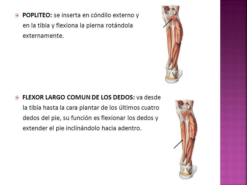 POPLITEO: se inserta en cóndilo externo y en la tibia y flexiona la pierna rotándola externamente.