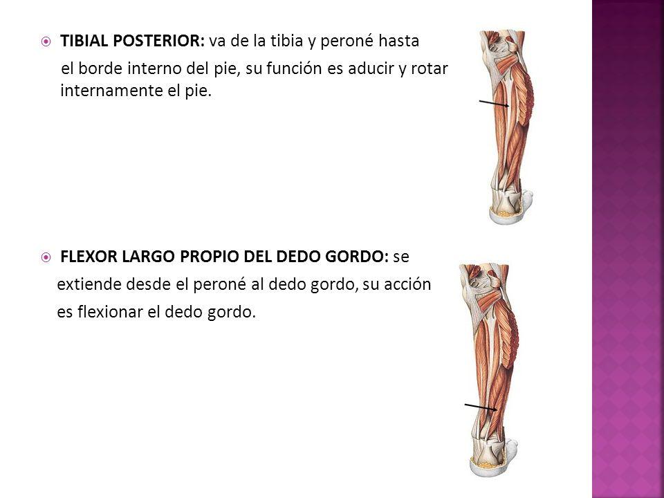 TIBIAL POSTERIOR: va de la tibia y peroné hasta el borde interno del pie, su función es aducir y rotar internamente el pie.