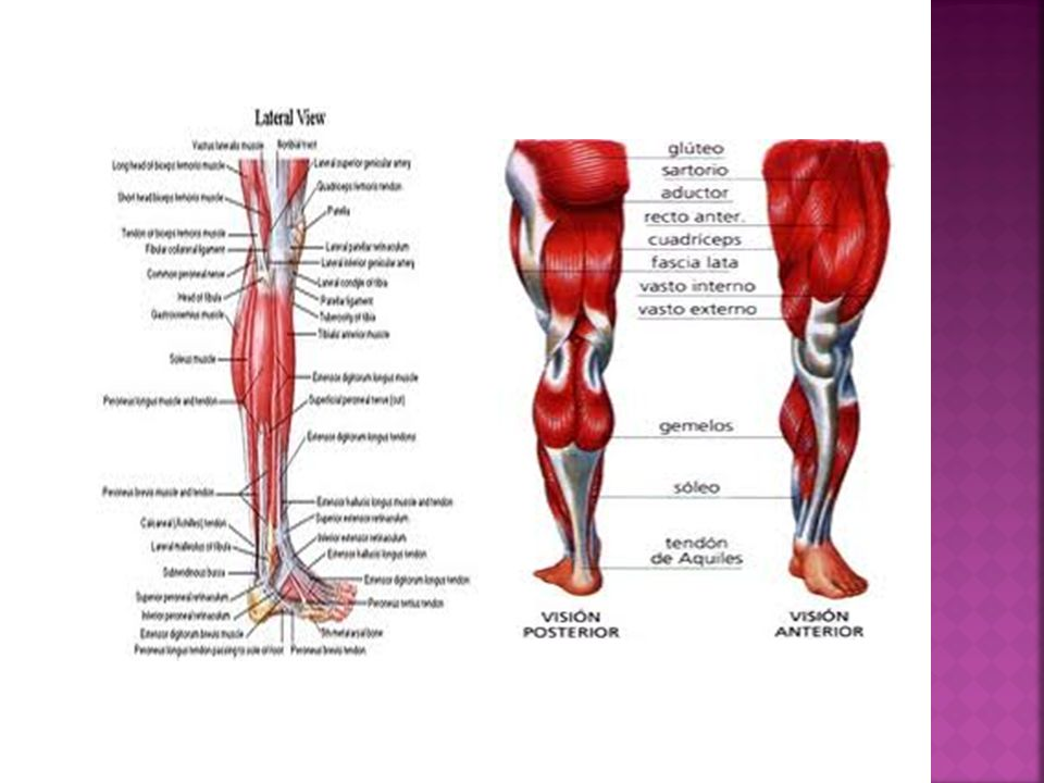 RECTO INTERNO O GRACILIS: se inserta en el pubis y tibia y es flexor y aductor de la pierna.