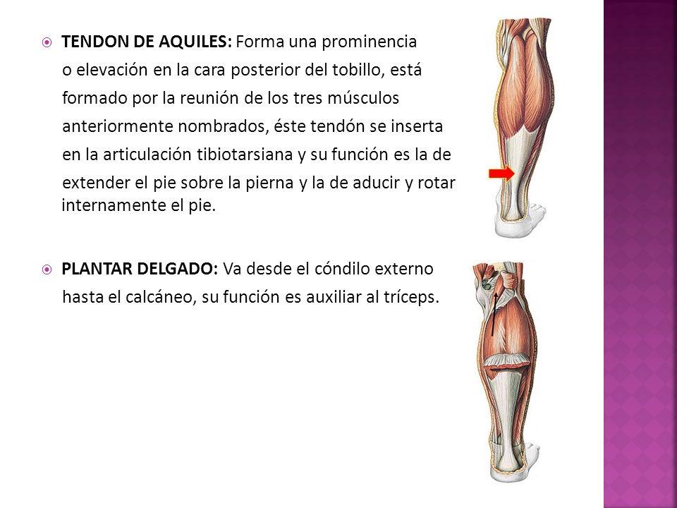 TENDON DE AQUILES: Forma una prominencia o elevación en la cara posterior del tobillo, está formado por la reunión de los tres músculos anteriormente nombrados, éste tendón se inserta en la articulación tibiotarsiana y su función es la de extender el pie sobre la pierna y la de aducir y rotar internamente el pie.