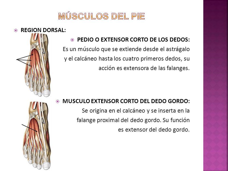 REGION DORSAL: PEDIO O EXTENSOR CORTO DE LOS DEDOS: Es un músculo que se extiende desde el astrágalo y el calcáneo hasta los cuatro primeros dedos, su acción es extensora de las falanges.