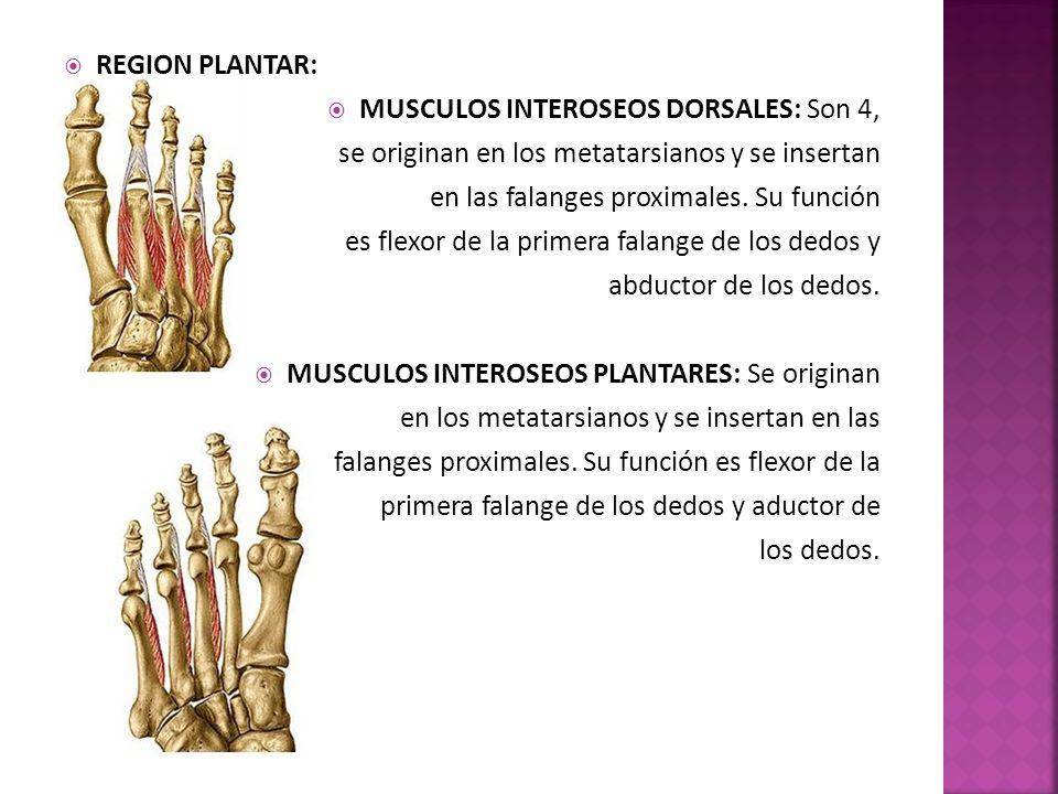REGION PLANTAR: MUSCULOS INTEROSEOS DORSALES: Son 4, se originan en los metatarsianos y se insertan en las falanges proximales.
