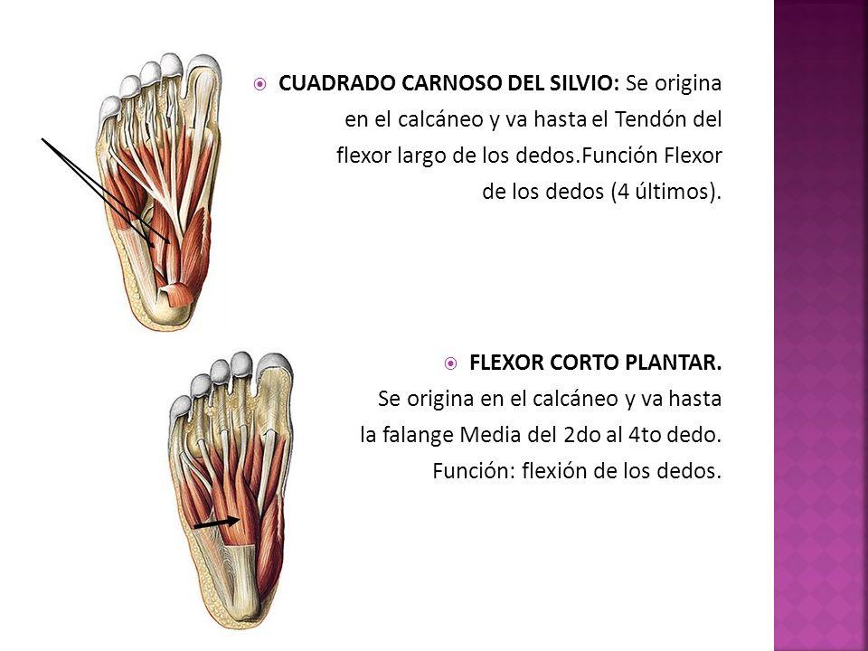 CUADRADO CARNOSO DEL SILVIO: Se origina en el calcáneo y va hasta el Tendón del flexor largo de los dedos.Función Flexor de los dedos (4 últimos).