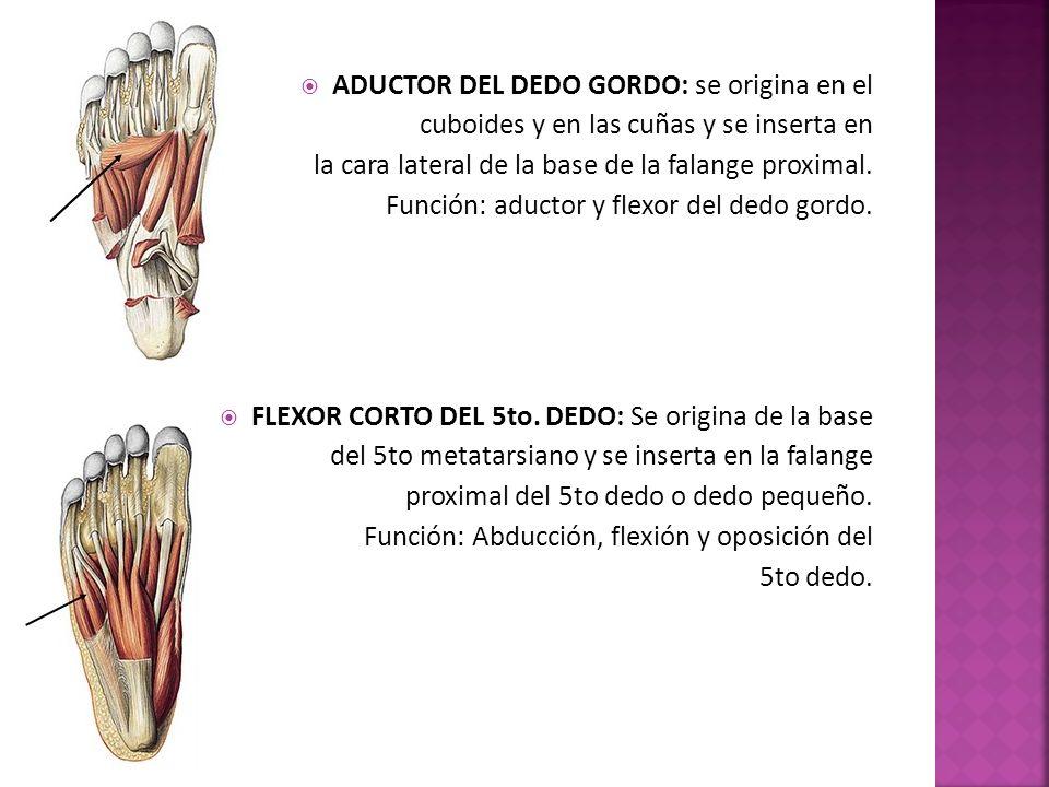 ADUCTOR DEL DEDO GORDO: se origina en el cuboides y en las cuñas y se inserta en la cara lateral de la base de la falange proximal.