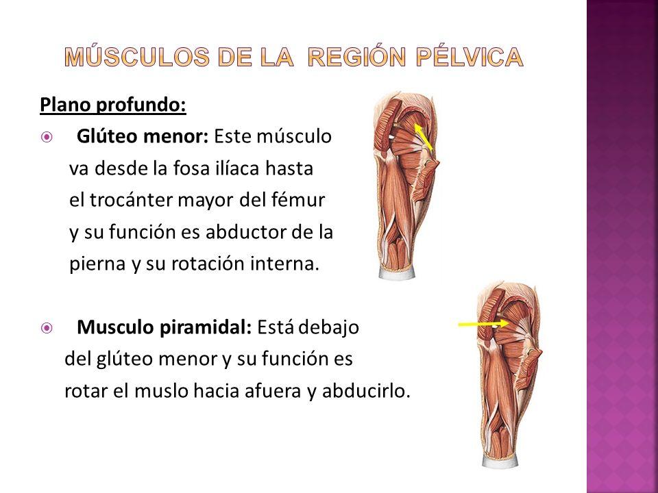 Plano profundo: Glúteo menor: Este músculo va desde la fosa ilíaca hasta el trocánter mayor del fémur y su función es abductor de la pierna y su rotación interna.